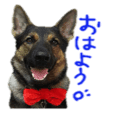 German Shepherd's Bellette photo Sticker