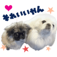 Real DOG Pekingese Tono & Kona