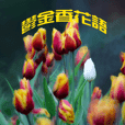 Tulip flower language