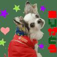 Real DOG Chihuahua -CUTE-