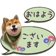 As expected! Shiba Inu [Polite]