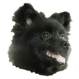 Black Pomeranian Sticker
