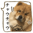 The greatest chowchow dog