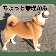 うちのすずさん(*´꒳`*)柴犬♀