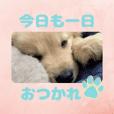 びすけ物語ゴールデンレトリバー/FO1