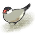 Java sparrow Sticker