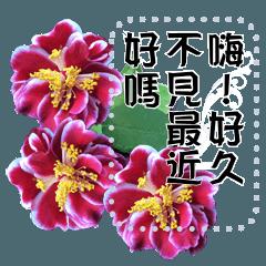 我家三哥的生活日常(三)茶花篇