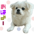 Real DOG Pekingese mix MOKO