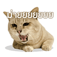 ทาโร่ แมวยิม (Taro cat)