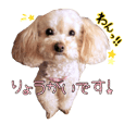Toy poodle Purin