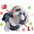 Real DOG Shih Tzu All friends
