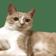 保護猫 ナッツ