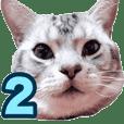 アメリカンショートヘア【 ビビ】② 実写猫