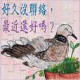 都市叢林裡的珠頸斑鳩。(大家族,小明星3)