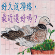 Spotted Dove in the urban jungle.(3CT)