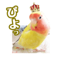 Queen piyo