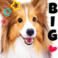 BIG stamp of Sheltie