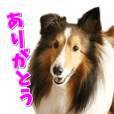 Good morning! Qoo Sheltie Sticker