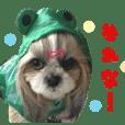 リアル DOG ツンデレシーズー星羅☆