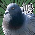 動く!野生の鳩(リアル)