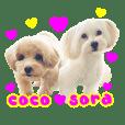 Maltipoo coco and sora
