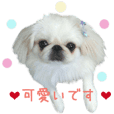 Real DOG White Pekingese -SORA-