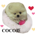 Real DOG Pomeranian-COCO-