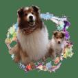 シェルティ犬★ベア&ルチェ