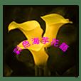 彩色海芋花語