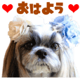 Real DOG Shih Tzu HUUTA