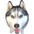 Real DOG Husky's Sticker -LEO-