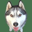 ハスキー犬のレオ写真スタンプ