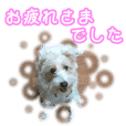 Jack Russell Terrier Chocolat Japanese1