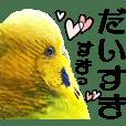 ♡虎皮鸚鵡王子♡Lovely!40set.