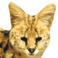 Real Serval Cat