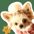 Chihuahua's Chobi