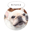 French Bulldog Wasabi's Tweets