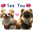 Real DOG Chihuahua MARO&COO