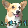 corgi dog chocolat's daily conversation