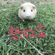 Guineapig-big eyes