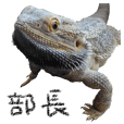 Bearded dragon,Buchou