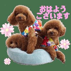 使える可愛いトイプードル♡ ロージーTV ③