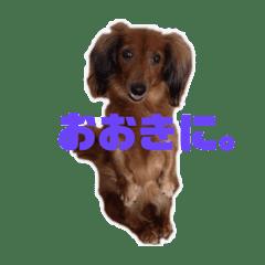 ミニチュアダックスゆずちゃん京都弁