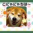 柴犬まる☆まることば