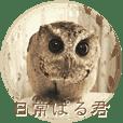Everyday of PAL-KUN (Indian scoop owl)