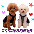 Real DOG Toy Poodle yui&kazu