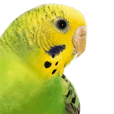 Pretty daily life of a budgerigar