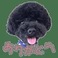 Fluffy Afro Black Poodle Kota