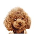 "Toy Poodle Sticker ""Clever01"""