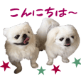 Real DOG Pekingese -KOU&KUU-